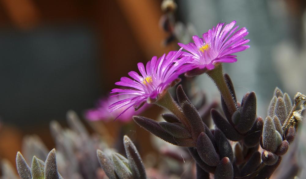 ...und die wilden winzigen Mittagsblümchen blühen auch wieder ...