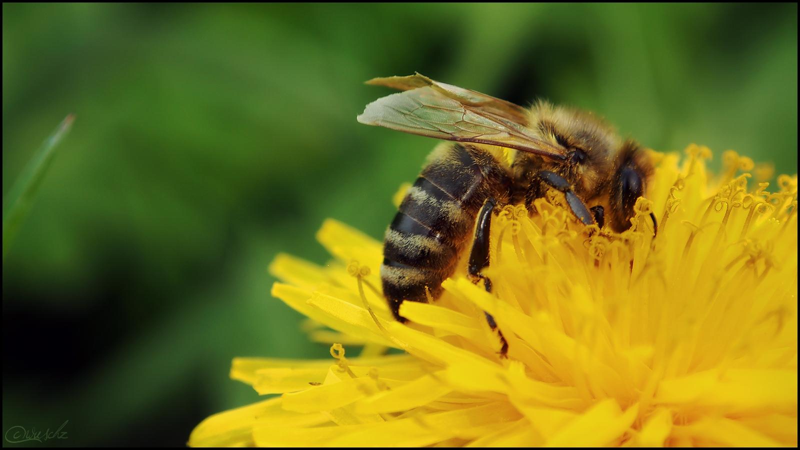 Und diese Biene