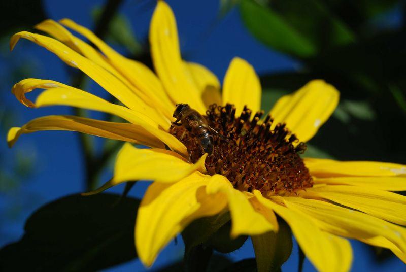 Und diese Biene, die ich meine, nennt sich.....
