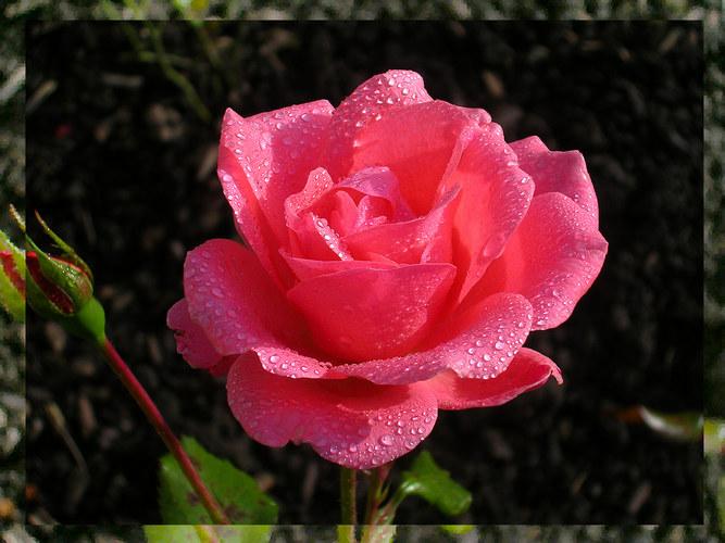 ...und eine Rose für Dich....!