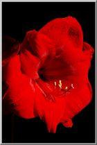 ...und erfreut uns seit Tagen mit ihren drei betörend roten Blütenköpfen