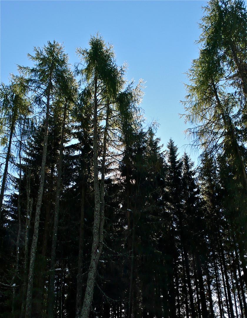 Und es gibt sie noch - die flechtenbehangenen Nadelbäume, hier Lärchen. Es werden USNEA-Arten sein.