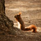 und fleißig sammelt das Eichhörnchen