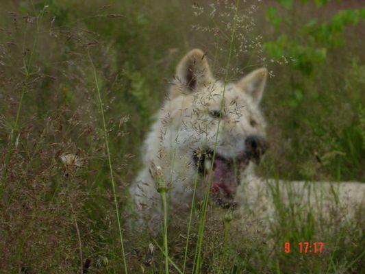 Und immer lauert der Wolf!