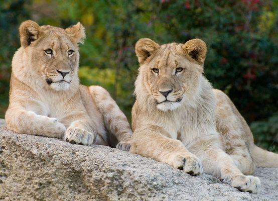 und noch 2 Löwen...