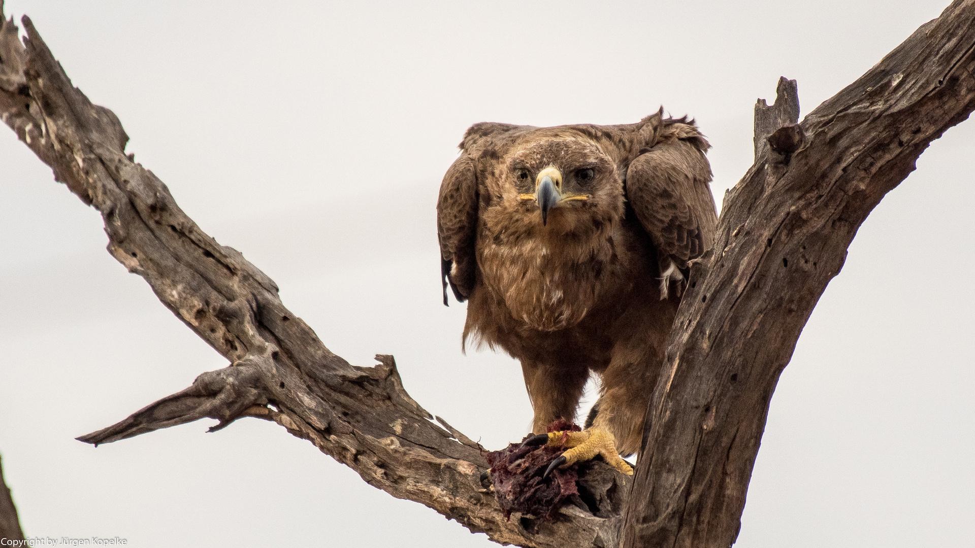 und noch ein Adler.....