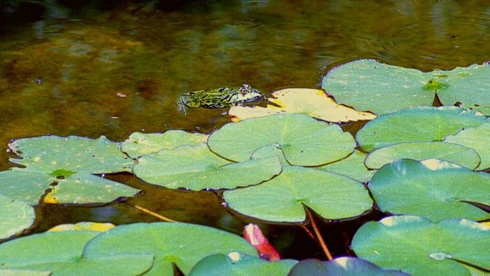 und noch ein Frosch in meinem Teich