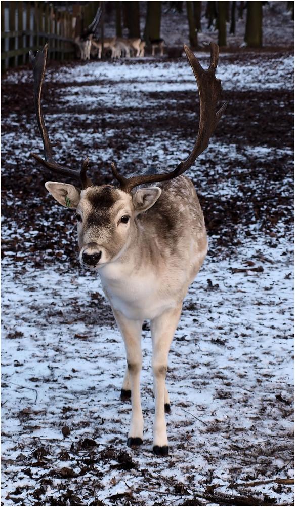 Und noch ein Hirsch....