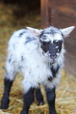 Und noch ein Lamm