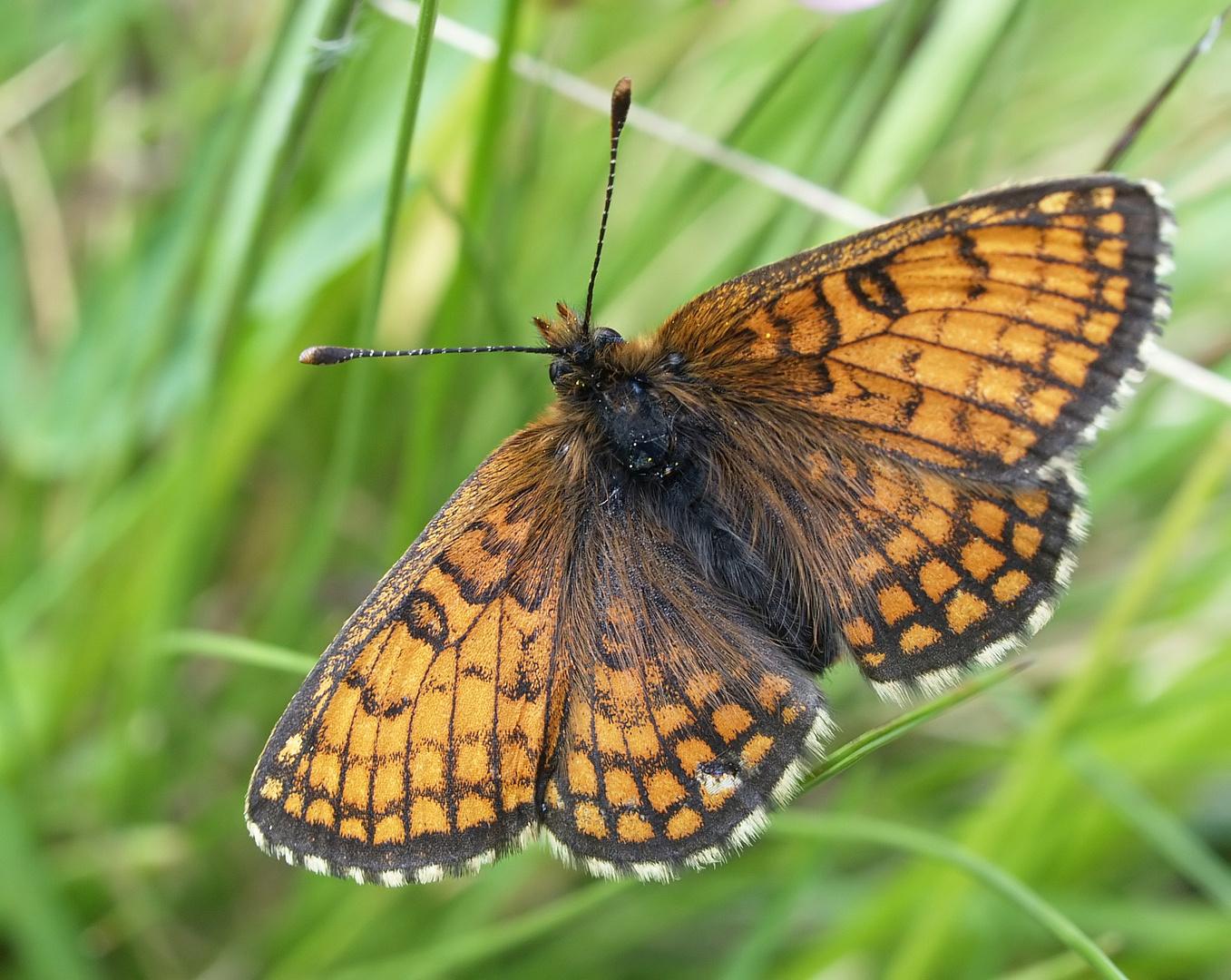 ... und noch ein Scheckenfalter: Melitaea varia