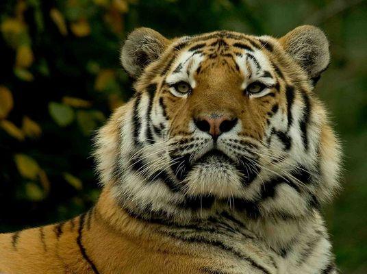 ..und noch ein Tigerbild