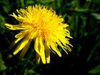 und noch eine gelbe Blüte