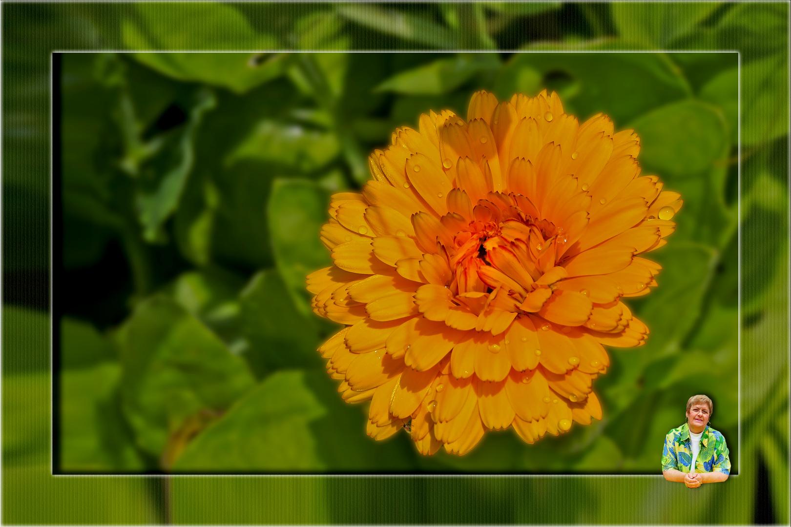 Und noch eine Ringelblume....