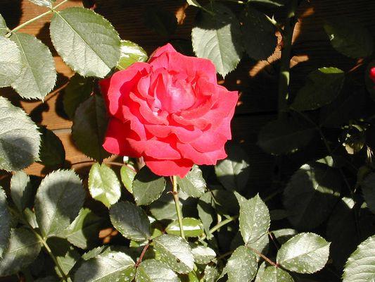 Und noch eine Rose.