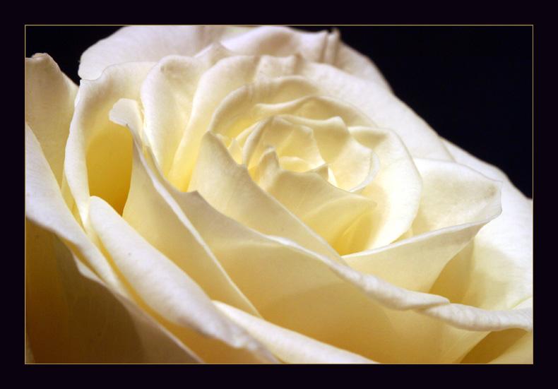 .....und noch eine Rose.....