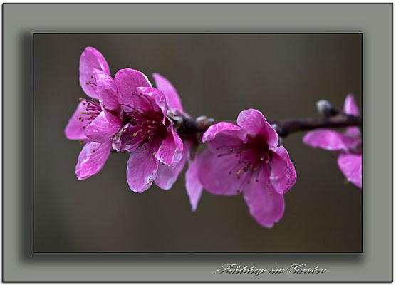 und noch mal Frühling in rosa