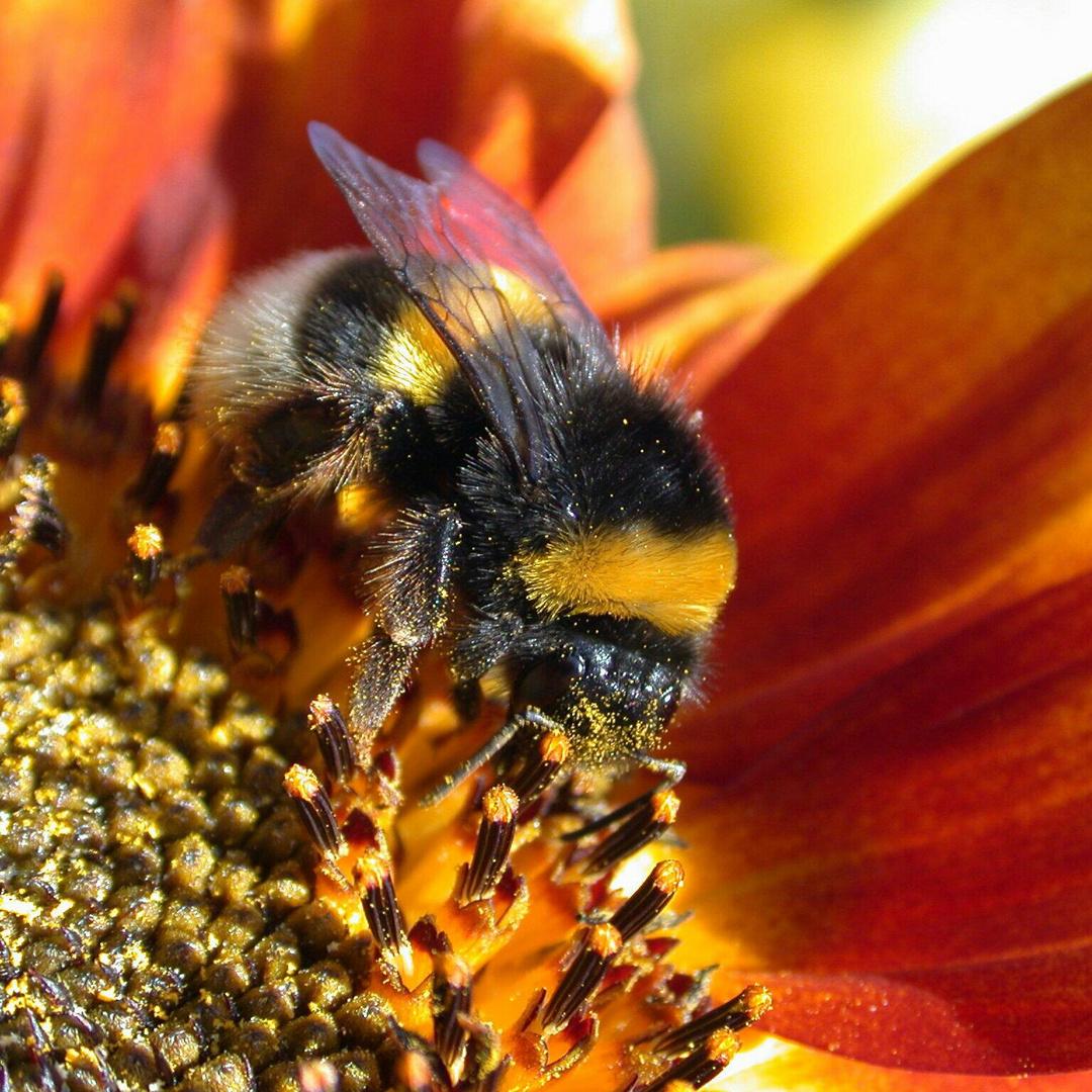 Und noch ne Makro Biene