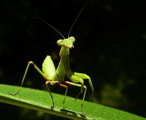 und noch 'ne Mantis