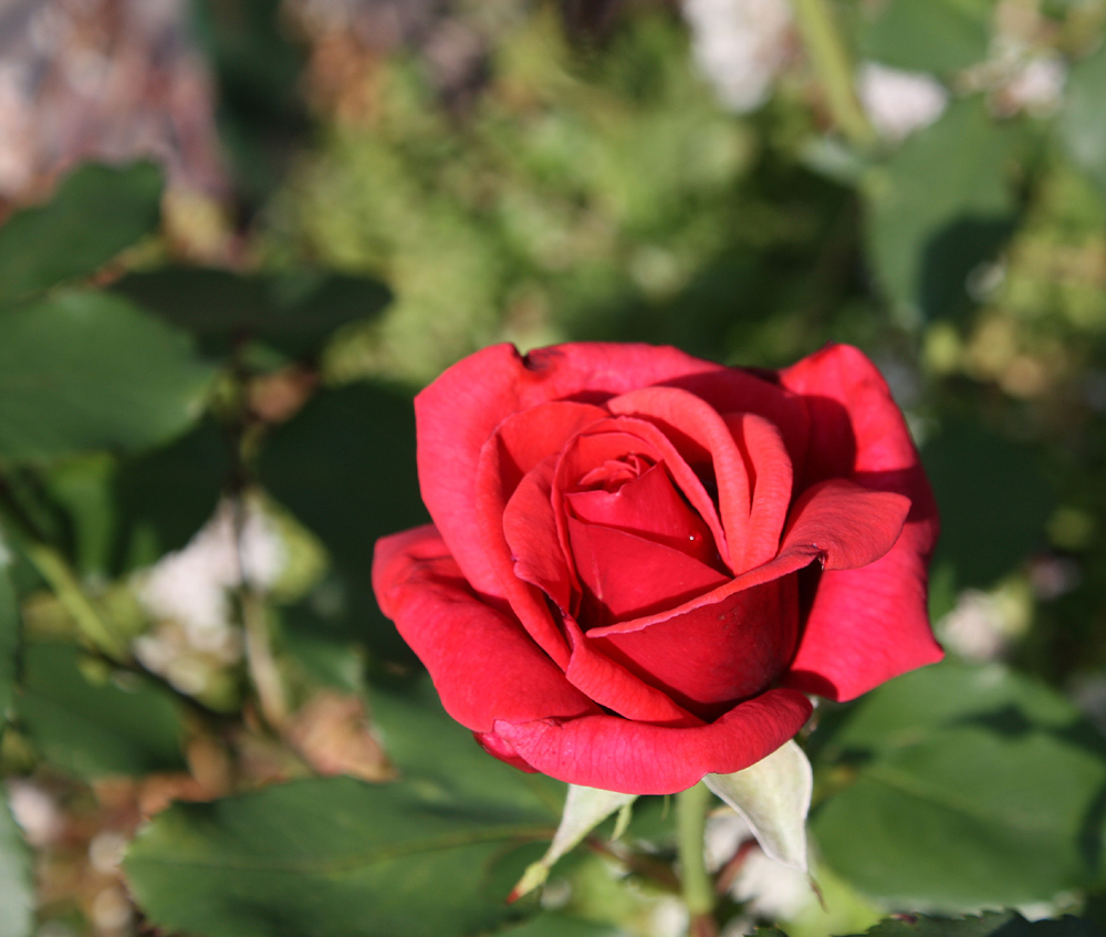 und noch ne Rose gegen den Winter