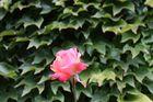 und noch ne Rose vom 25.09.2013