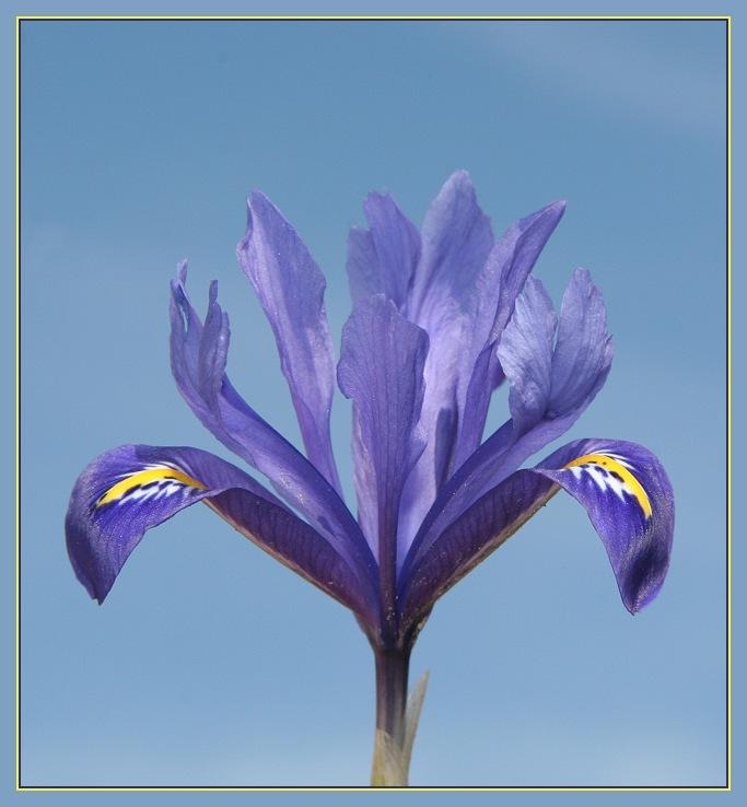 und nochmal die blaue Iris