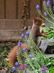 Und scho wieder s Eichhörnchen ...
