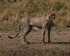 und so sieht ein Gepard aus wenn er den Mara River durchquert hat