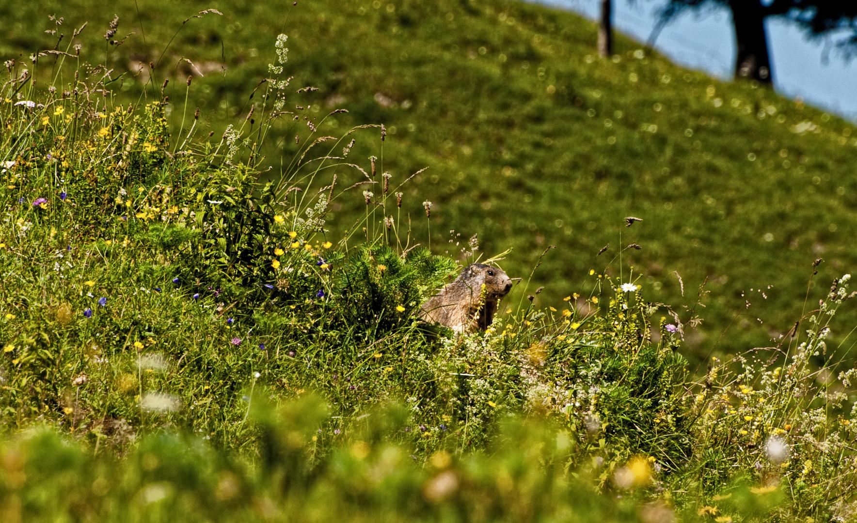 Und Täglich grüßt das Murmeltier (Manggei)