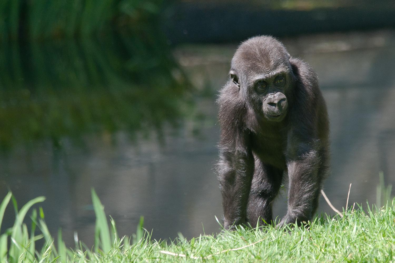 Und wenn ich mal groß bin werde ich Gorilla.