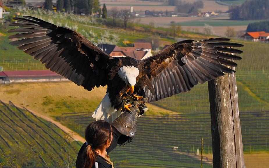 ...und wer schon mal oben ist - der sieht sich die Flugvorführung der Greifvogelwarte an