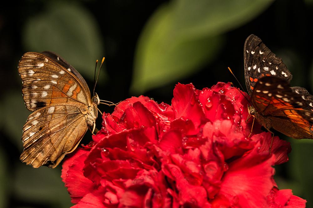 und wieder ein Schmetterling