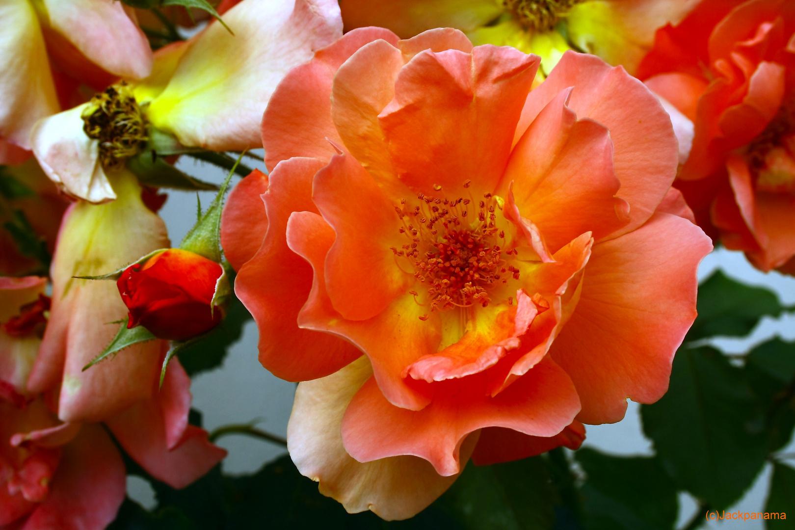 Und wieder eine schöne Rose