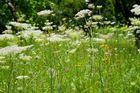 ... und wieder einmal eine Blumenwiese