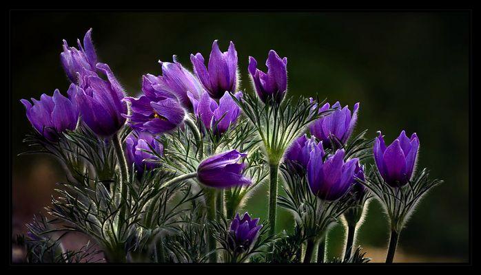 und wieder lila
