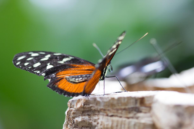 Und wieder Schmetterlinge....