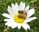 Undercover - Fleißiges Bienchen?