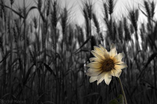 Undeveloped Sunflower