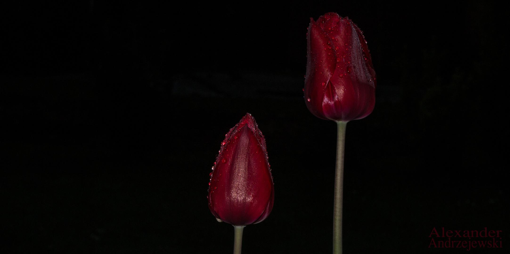 Und.....noch ne Tulpe