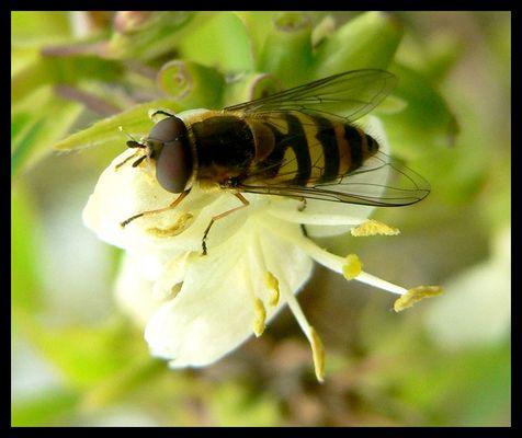 une abeille qui n'a pas froid aux yeux