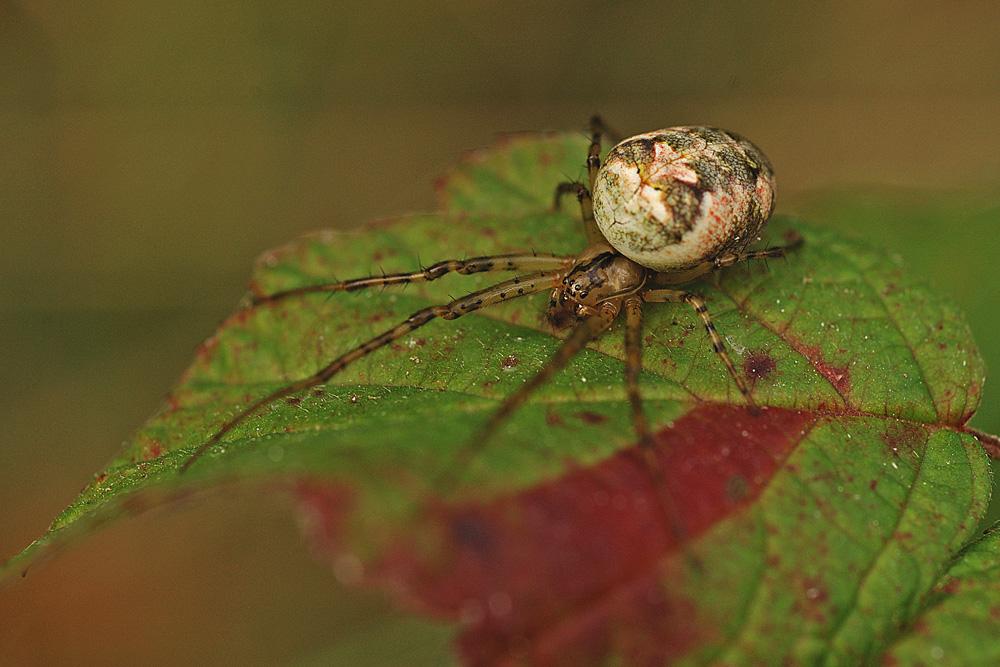 Une araignée appelée à régner