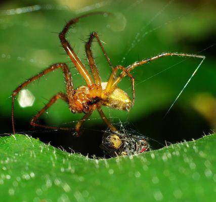 """Une araignée """"ligotant"""" une pauvre mouche sans défense"""