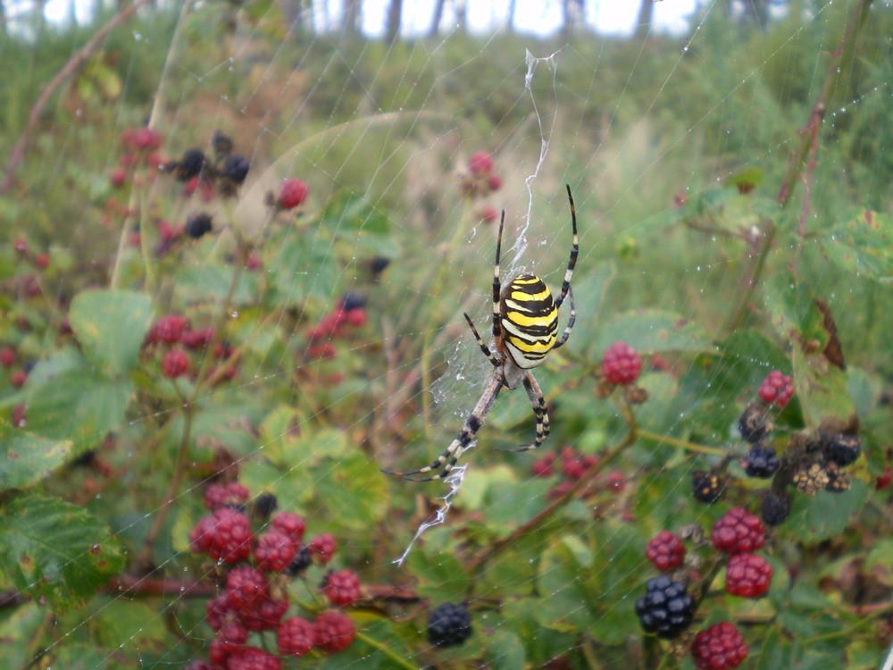 une araignée parmi les mûres...