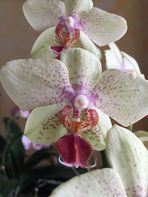 une autre couleur pour une orchidée