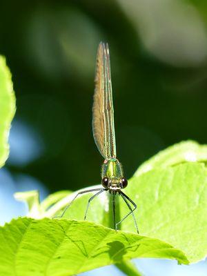 Une autre libellule