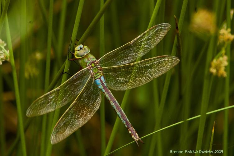 Une belle libelllule