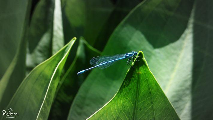Une belle libellule bleue !