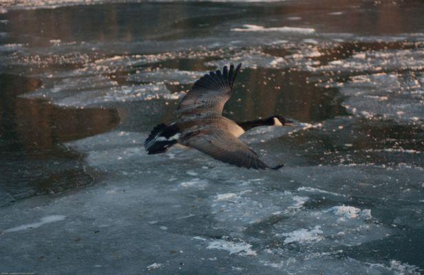 Une Bernache du Canada en vol un matin froid de Janvier