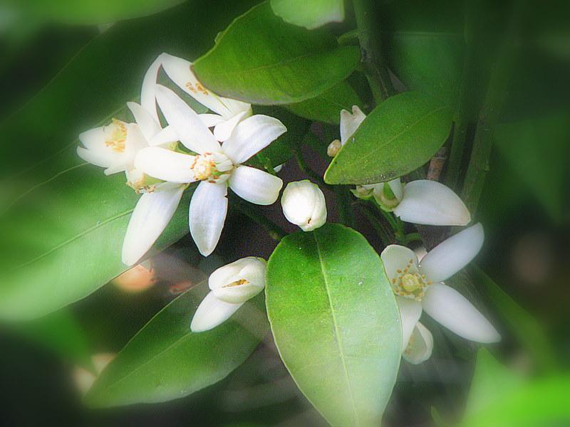 Une branche de fleurs d'oranger