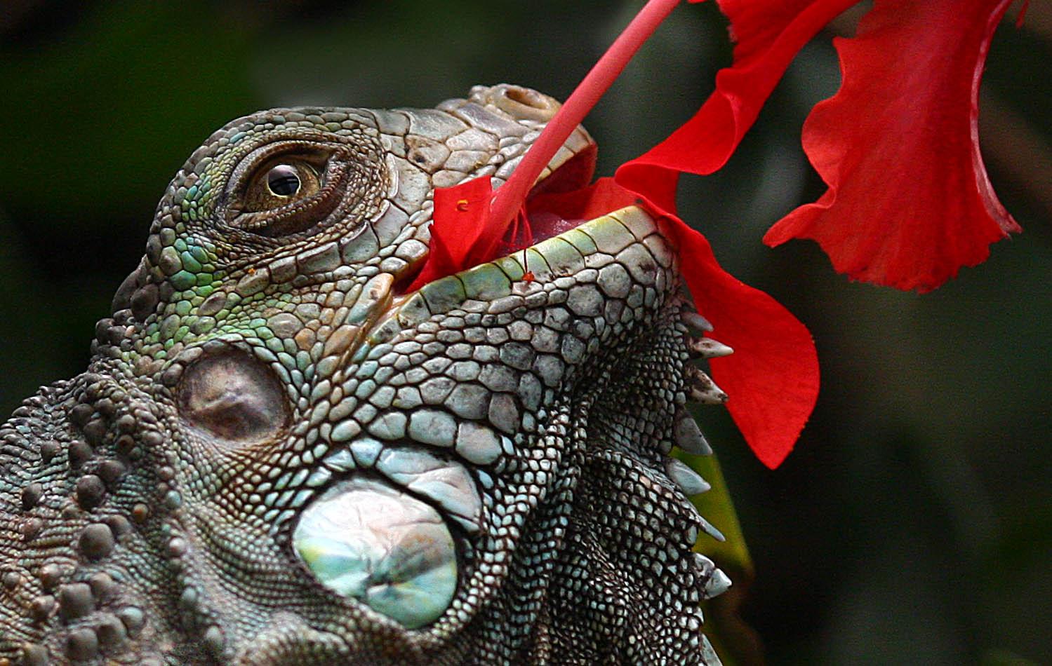 Une chance que cet iguane soit attiré par les fleurs de couleur!