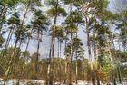une clairière de pins, forêt de Fontainebleau